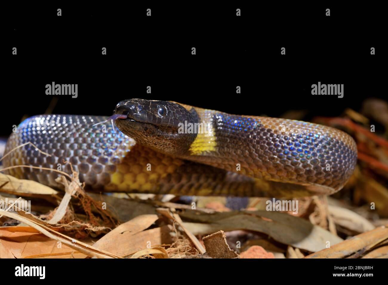 Le python annelé de Bismarck (Botrochilus boa) est captif, en Papouasie-Nouvelle-Guinée. Banque D'Images