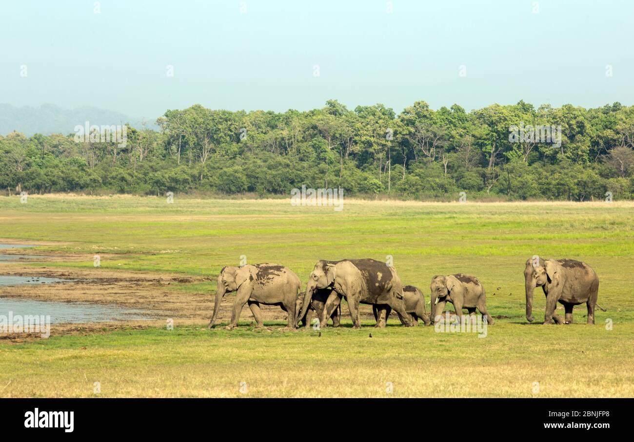Éléphant asiatique (Elepha maxima), troupeau approchant du lac pour boire de l'eau. Parc national Jim Corbett, Inde. Banque D'Images