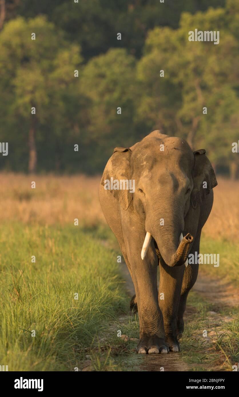 Éléphant asiatique (Elepha maximus) mâle renifle de l'air tout en marchant sur la voie forestière. Parc national Jim Corbett, Inde. Banque D'Images