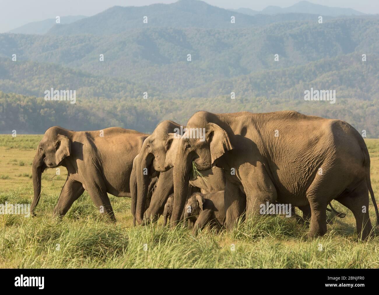 Éléphant asiatique (Elepha maxima), troupeau se nourrissant sur l'herbe. Parc national Jim Corbett, Inde. Banque D'Images