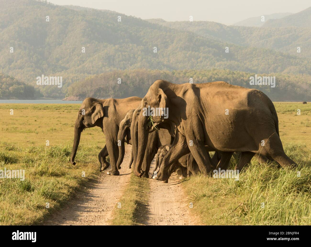 Éléphant asiatique (Elephas maximus), voie de traversée de troupeau en direction du lac. Parc national Jim Corbett, Inde. Banque D'Images