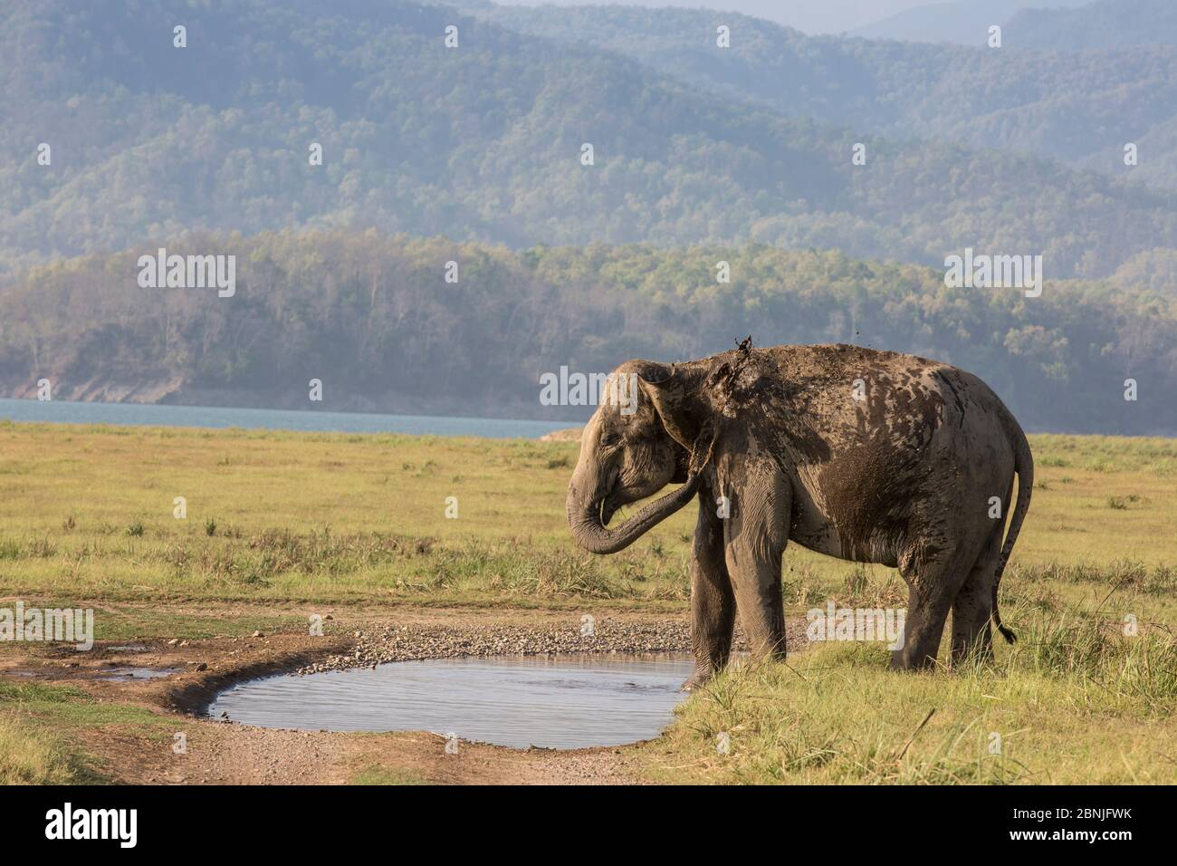 Éléphant asiatique (Elepha maximus), femelle se refroidissant par pulvérisation d'eau. Parc national Jim Corbett, Inde. Banque D'Images