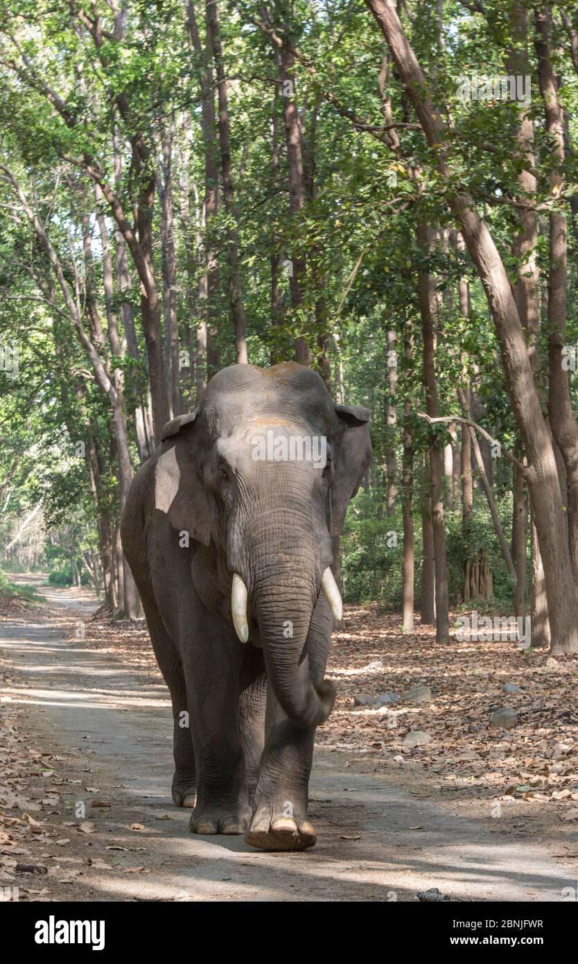 Éléphant asiatique (Elepha maximus), mâle traversant la forêt d'arbres de Sal. Parc national Jim Corbett, Inde. Banque D'Images