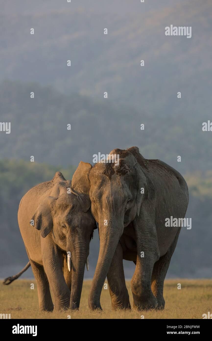 Éléphant asiatique (Elepha maxima) mâle nourrissant le veau avec la mère, parc national Jim Corbett, Inde. Banque D'Images