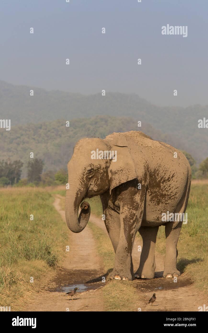 Éléphant asiatique (Elepha maximus), une femelle se rafraîchi en vaporisant de l'eau depuis la flaque de la route. Parc national Jim Corbett, Inde. Banque D'Images
