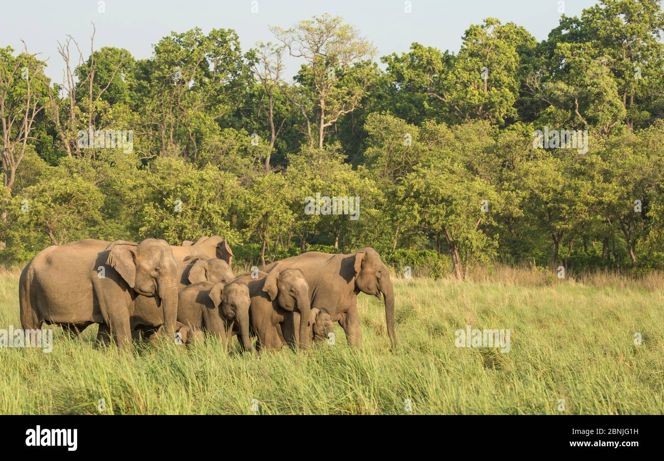 Éléphant asiatique (Elepha maxima), matriarche menant entendu de la forêt vers les prairies. Parc national Jim Corbett, Inde. Banque D'Images