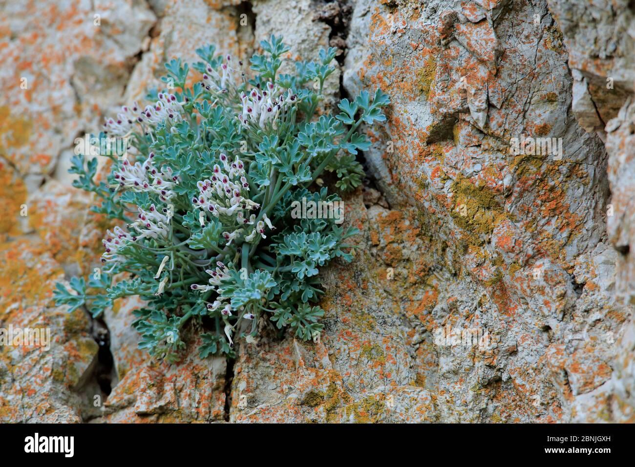Rupicapnos africana subsp. Decipiens, croissant en roches, Parc naturel de la Sierra de Grazalema, sud de l'Espagne, mai. Espèces en voie de disparition. Banque D'Images