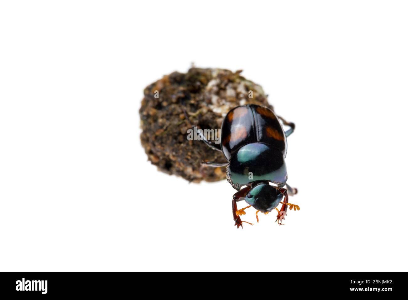 Dung scarabée (Canthon quadriguttatus) roulant une boule de dung fraîche sur laquelle elle se nourrira au cours des prochains jours. Station biologique de Jatun Sacha, Napo Provi Banque D'Images
