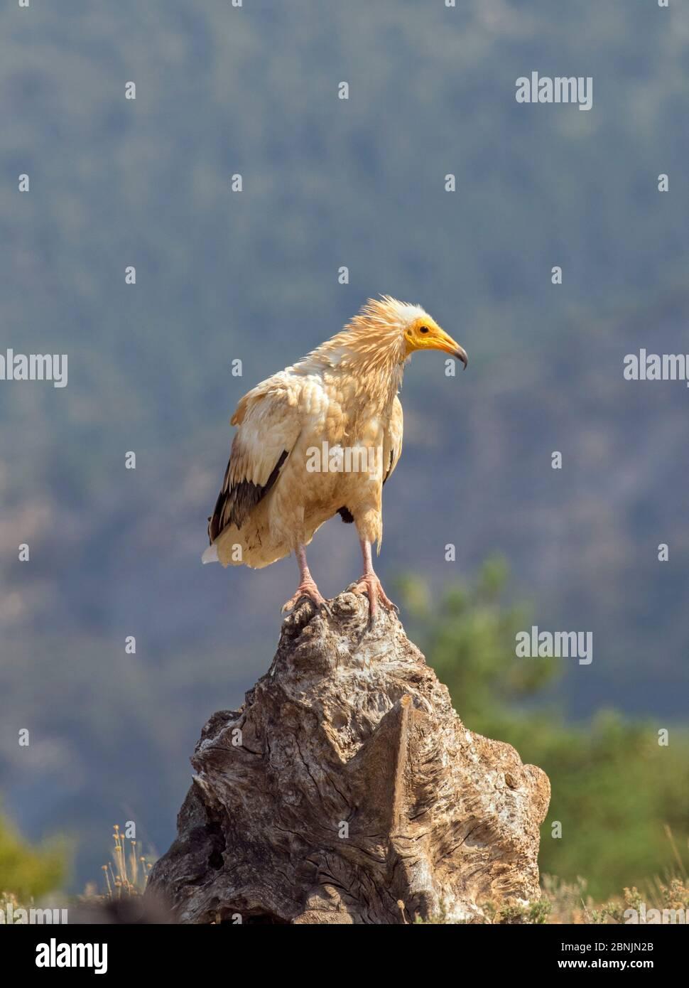 Vautour égyptien (Neophron percnopterus) perchée sur le rocher, Pyrénées, Espagne juillet Banque D'Images