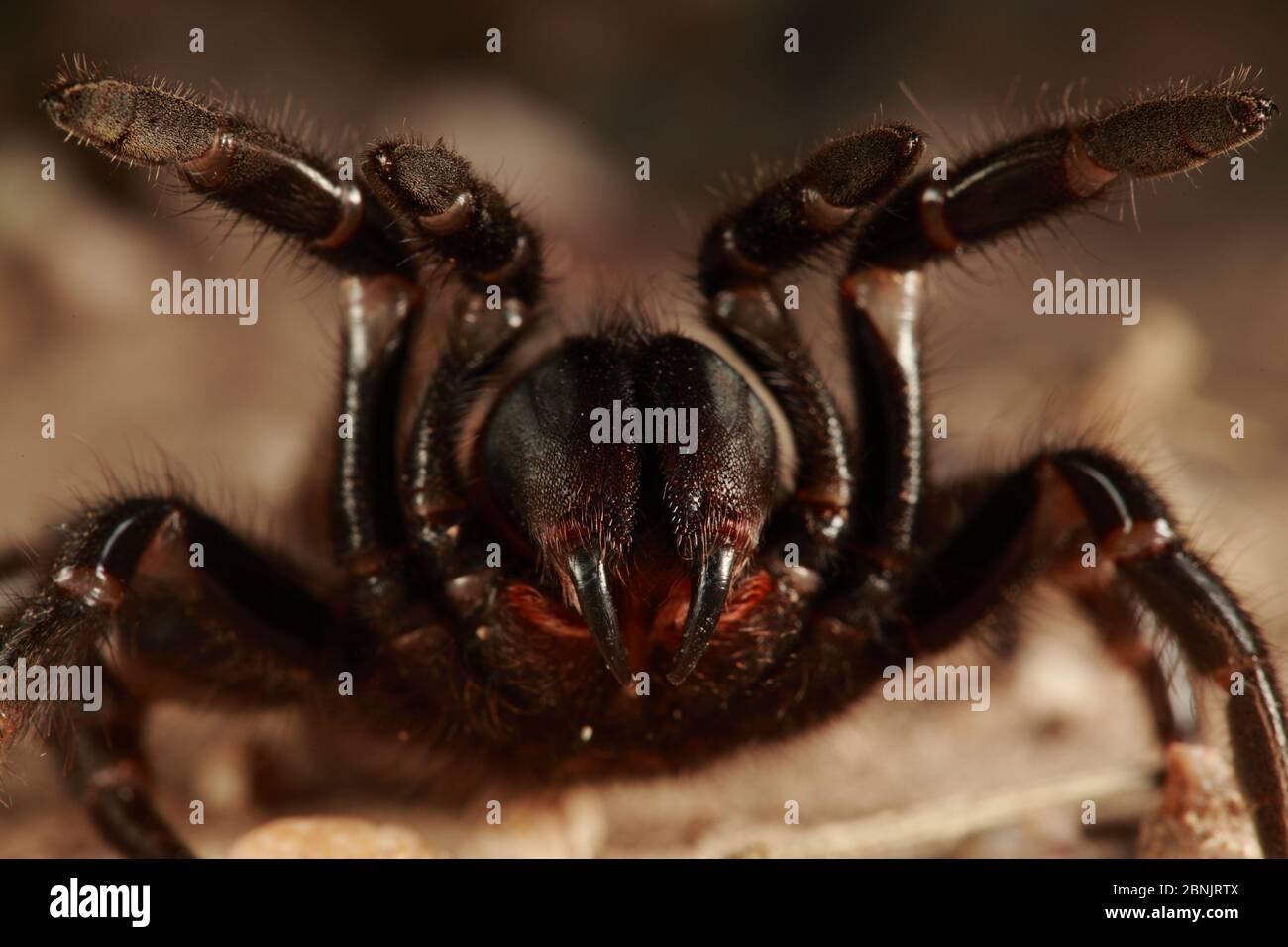 Tarantula (Aphonopelma sp) dans une posture agressive, Texas, USA, avril. Banque D'Images