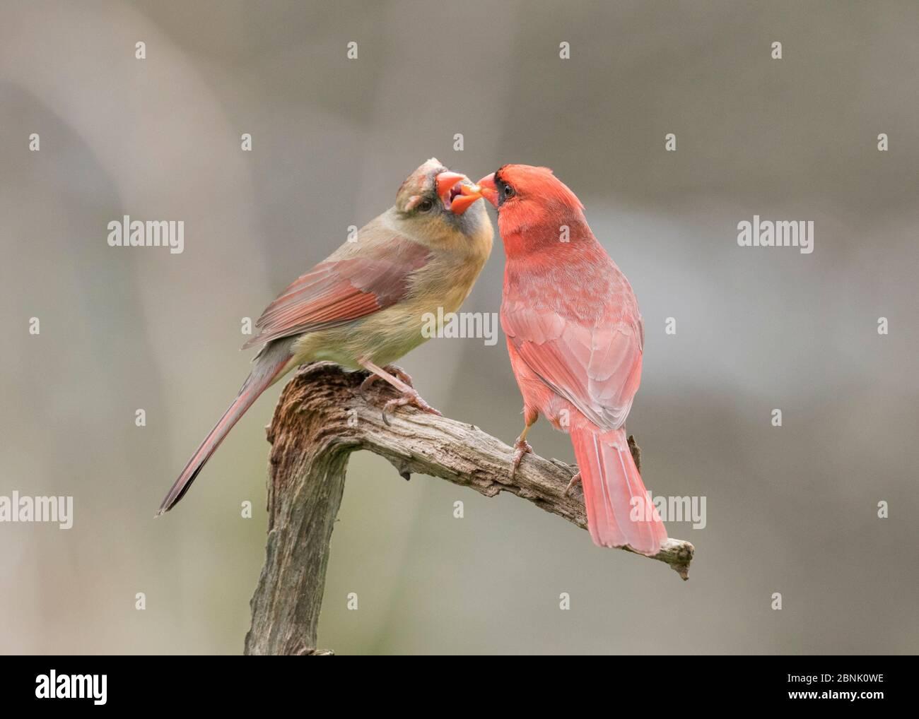 Cardinal du Nord (Cardinalis cardinalis) mâle (à droite) alimentant son compagnon au printemps dans le cadre de la formation de la cour/paire, appelée « alloalimentation », New York, Banque D'Images