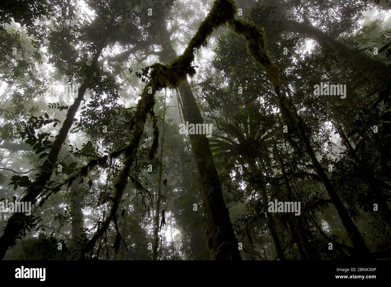 Vue dans la canopée de la forêt tropicale montagnarde à 2200 m d'altitude dans les montagnes Arfak, Papouasie occidentale, Indonésie. Banque D'Images