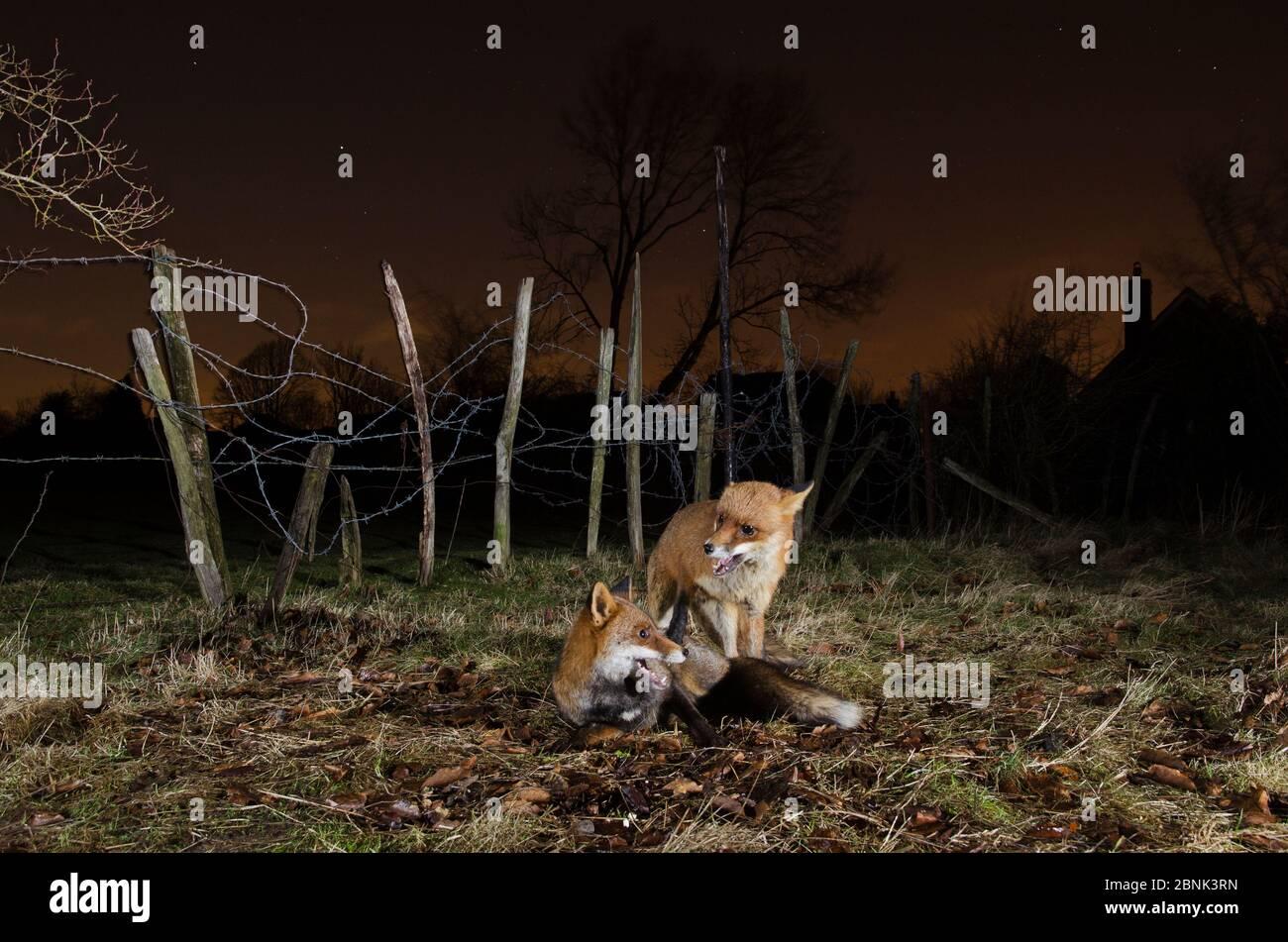 Renard roux (Vulpes vulpes) deux renards interagissant la nuit, Kent, Royaume-Uni. Mars Banque D'Images