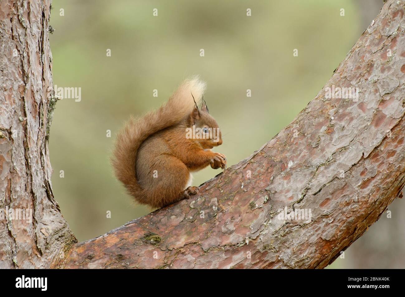 Écureuil roux (Sciurus vulgaris) Île Noire, Écosse, Royaume-Uni. Février Banque D'Images