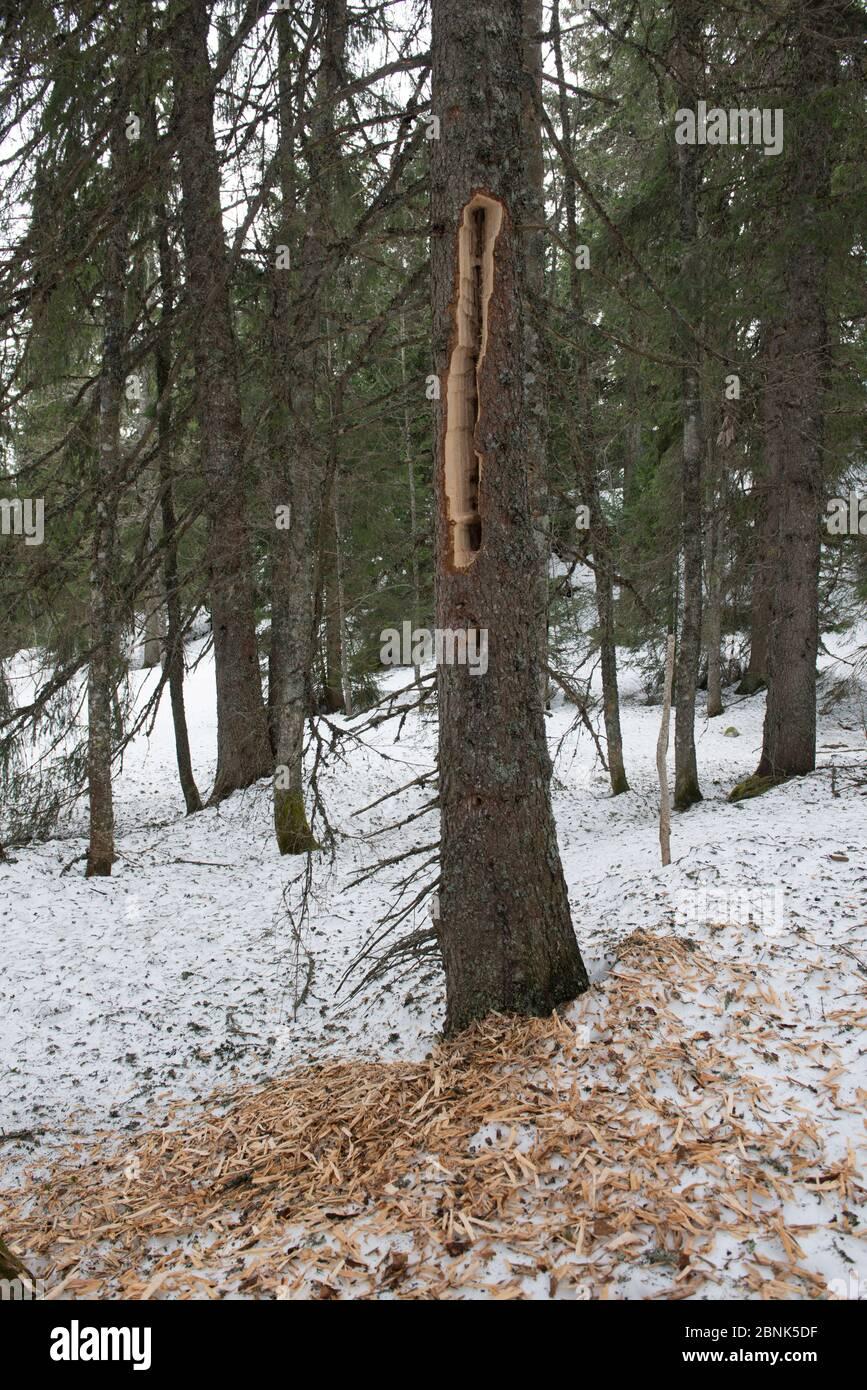 Le bois d'épinette (Picea abies) est sur le sol après que le pic noir (Dryocopus martius) a été foré pour des proies. Montagnes du Jura, Suisse, mars Banque D'Images