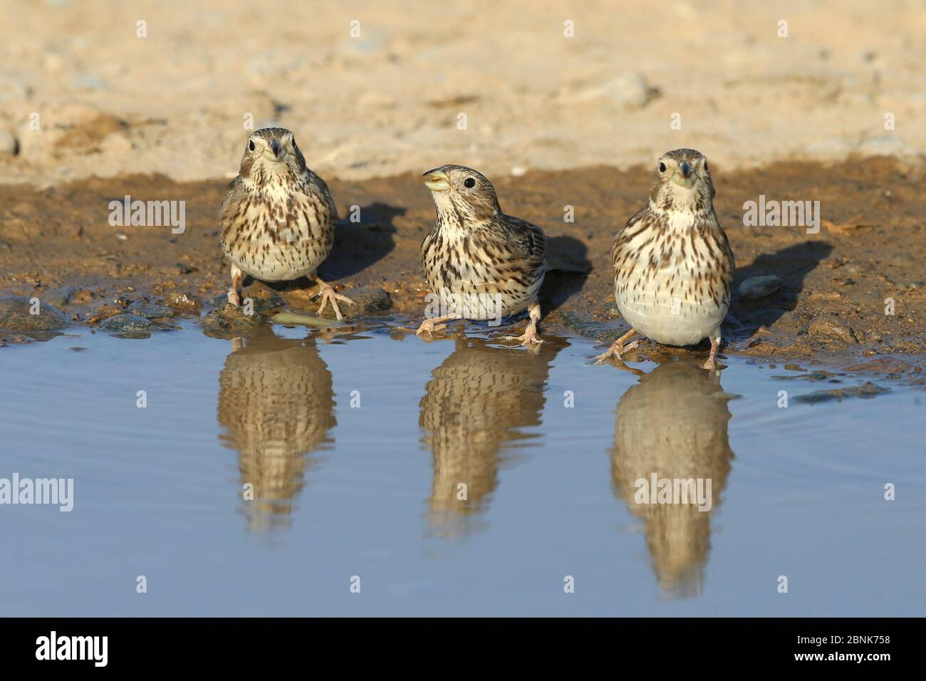 Bouées de maïs (Emberiza calandra) trois alignées à l'eau, Oman, décembre Banque D'Images
