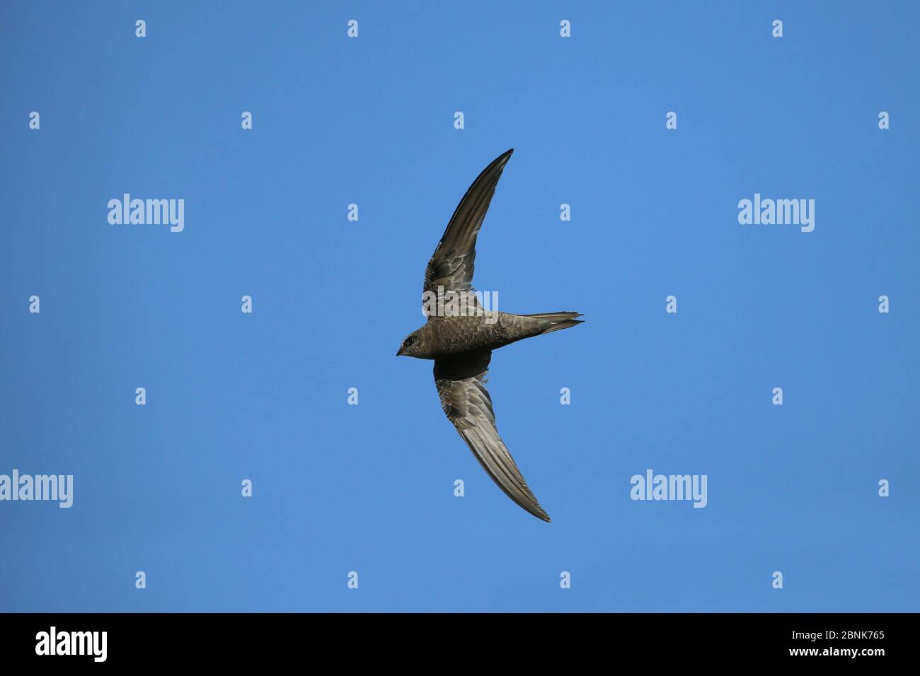 Le SWIFT de Forbes watson (Apus berliozi) en vol, Oman, novembre Banque D'Images