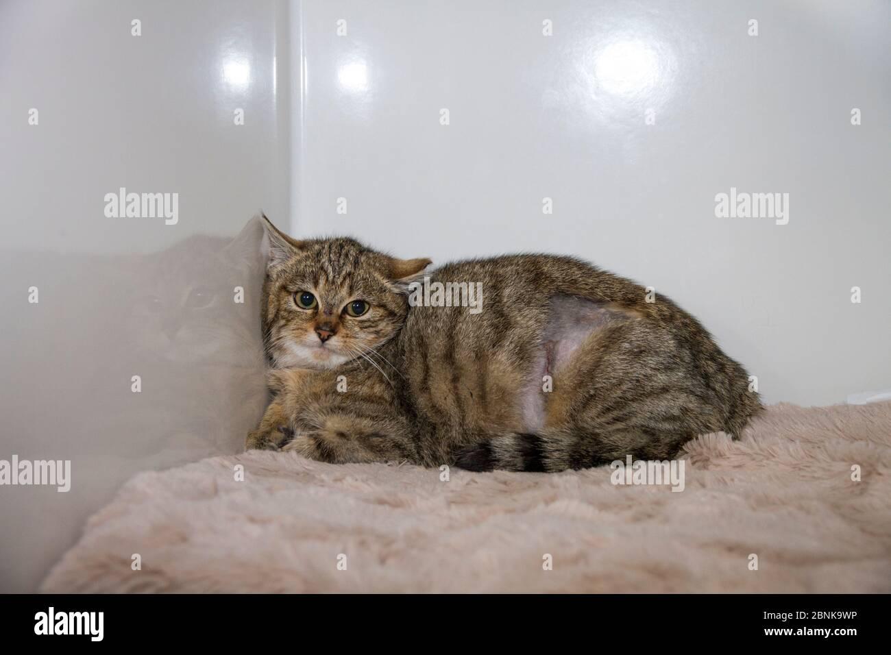 Jeune écossais sauvage chat (Felis silvestris grampia) Cross Feral chat (Felis catus) hybride de repos après neutering, Aberdeenshire, Écosse, Royaume-Uni, Decem Banque D'Images