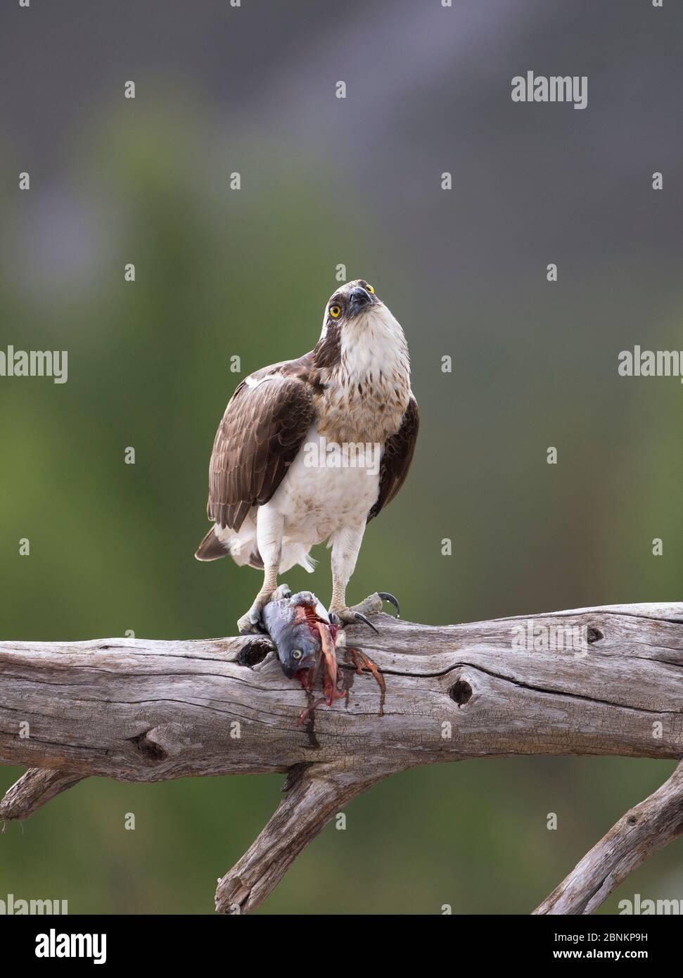 Osprey (Pandion haliatus) se nourrissant de poissons, perchés sur la branche, Glenfeshie, Parc national de Cairngorms, Écosse, Royaume-Uni, juin. Banque D'Images