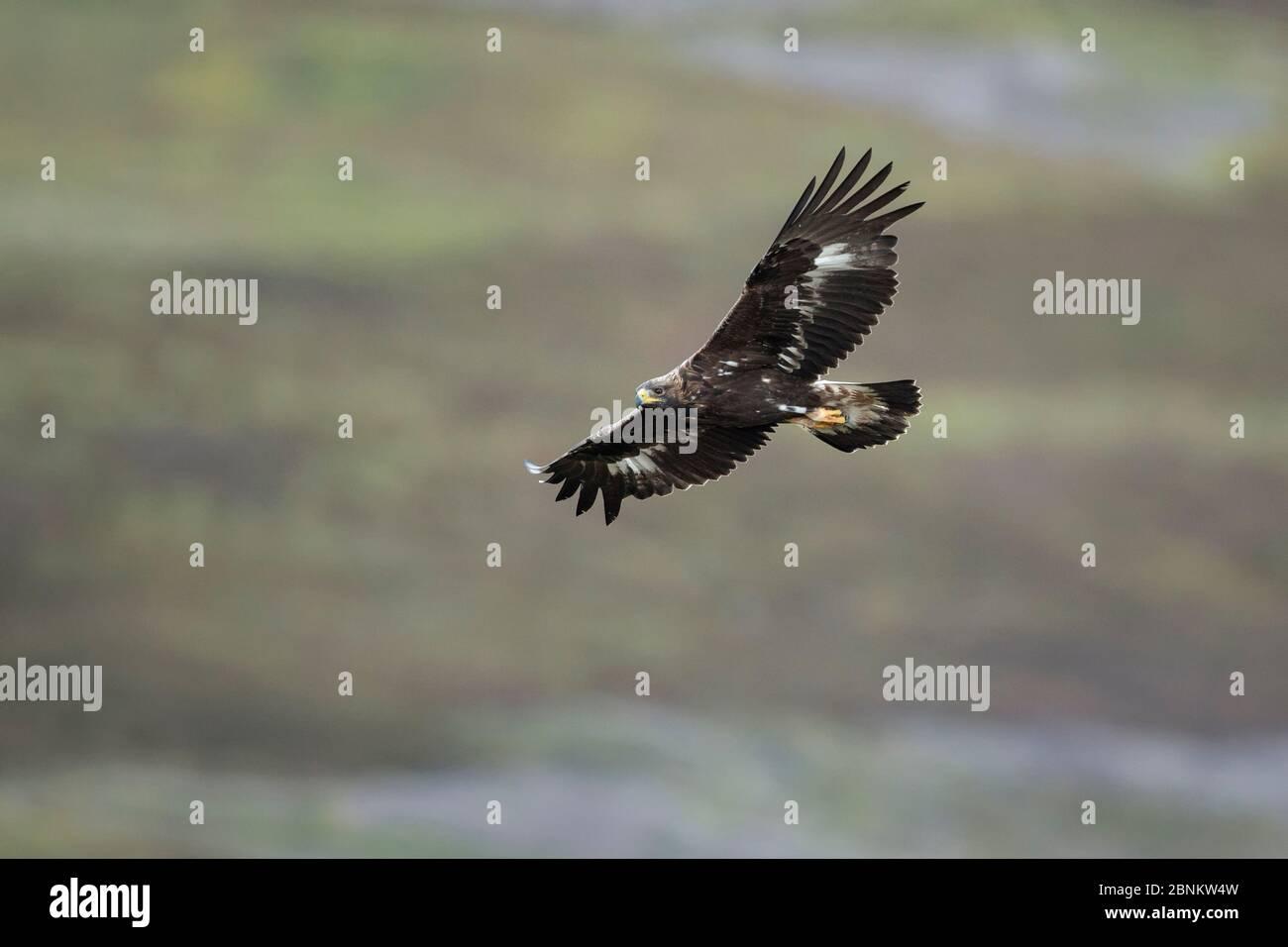 Aigle royal (Aquila chrysaetos), vol sous-adulte, Strathdenarn, Inverness-shire, Écosse, Royaume-Uni, août. Banque D'Images
