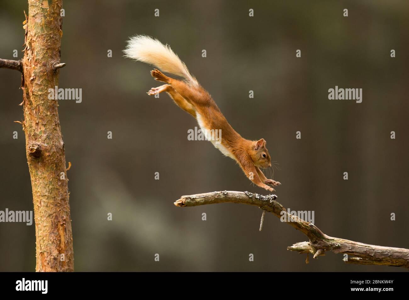 Écureuil roux (Sciurus vulgaris) sautant sur une branche de pins, parc national de Cairngorms, Écosse, Royaume-Uni, juin. Banque D'Images