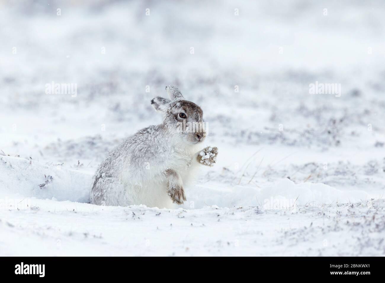 Lièvre (Lepus timidus) en hiver, pelage secouant la neige des pattes, Écosse, Royaume-Uni, mars. Banque D'Images