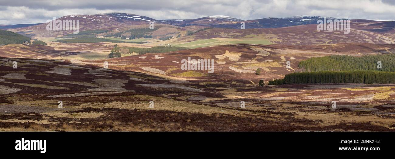 L'habitat mixte des hautes terres de lande de bruyère, l'exploitation commerciale des forêts et pâturages de moutons, The Glenlivet, le nord de l'Ecosse, Royaume-Uni, avril 2016. Banque D'Images