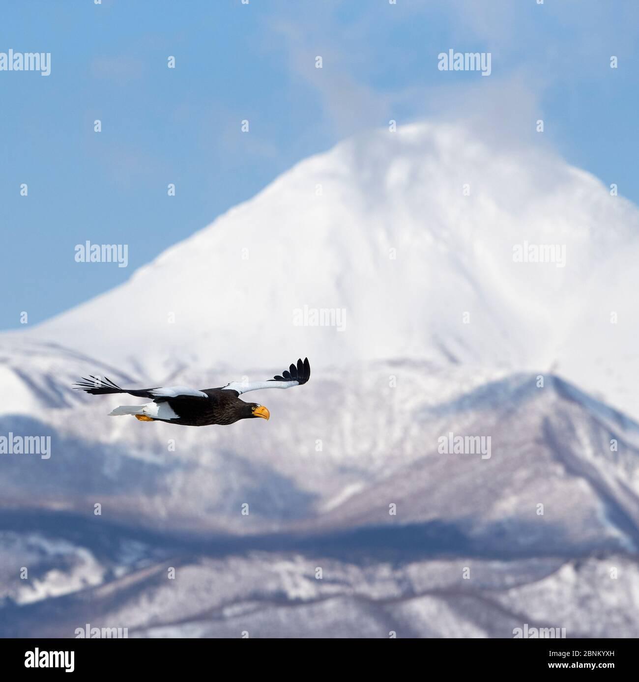 L'aigle de mer de Steller (Haliaeetus pelagicus) en vol avec des montagnes derrière, Hokkaido Japon Février Banque D'Images