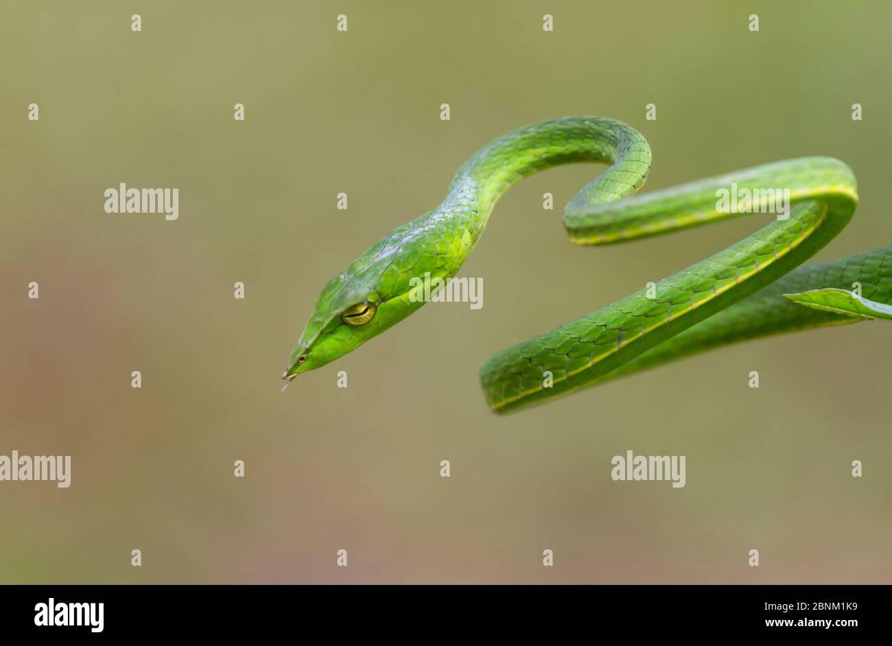 Serpent de vigne vert (Aheatulla nasuta), Agumbe, Karnataka Banque D'Images