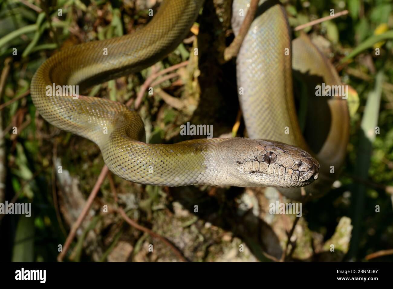 Python d'olive de Papuan (Liasis papuana) Papouasie-Nouvelle-Guinée. Banque D'Images