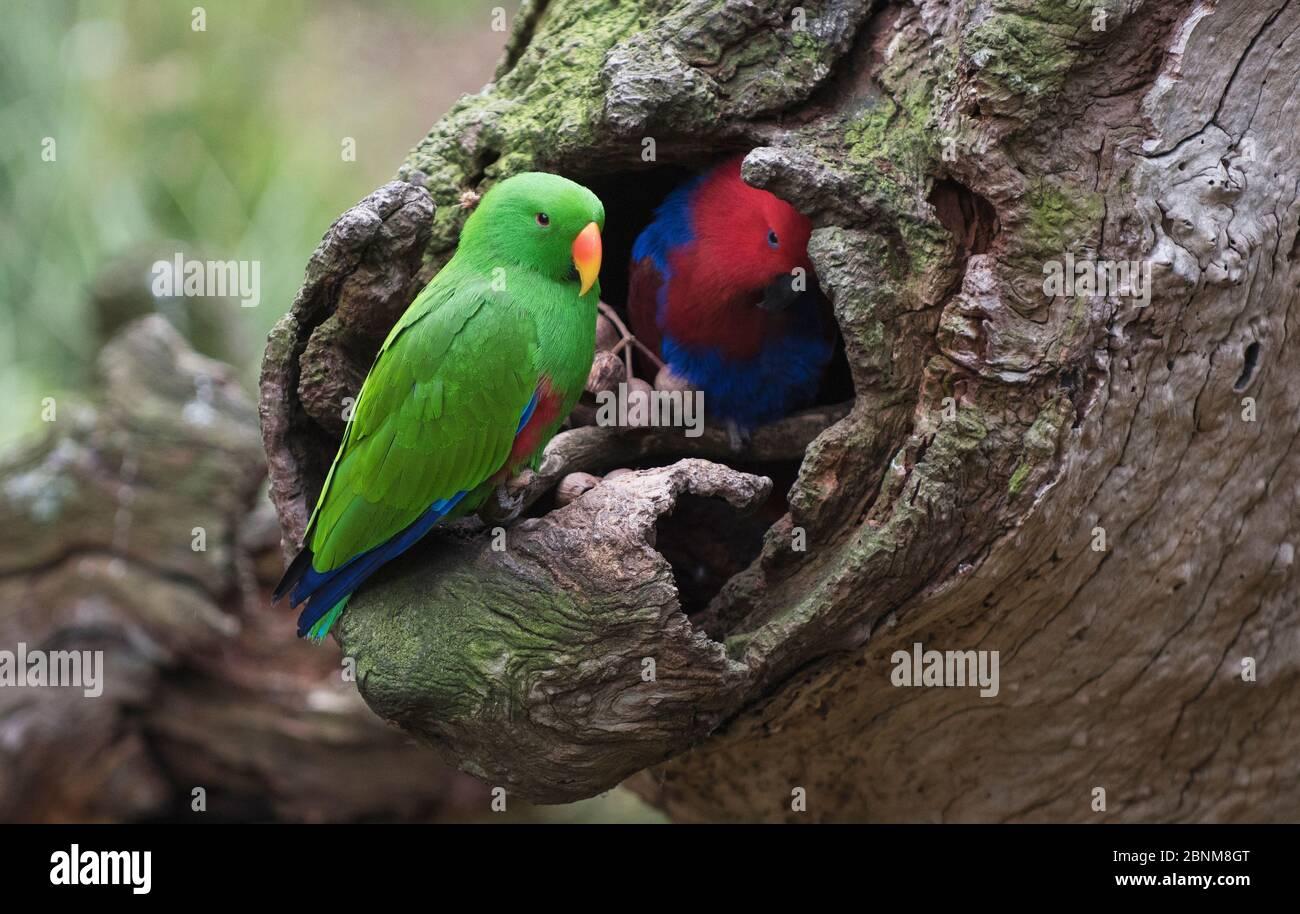 Paire de perroquets d'Eclectus (Eclectus roratus) inspectant leur site de nidification. Queensland du Nord, Australie. Banque D'Images