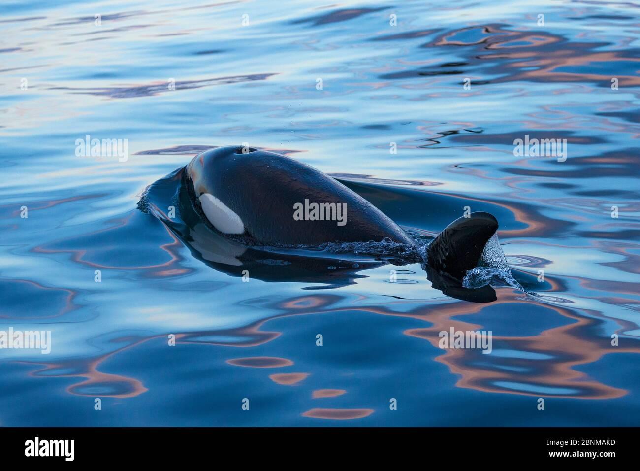 Type 1 North-East Atlantic Killer Whale / Orca (Orcinus orca) Surfacing, Snaefellsnes Peninsua, ouest de l'Islande, janvier Banque D'Images