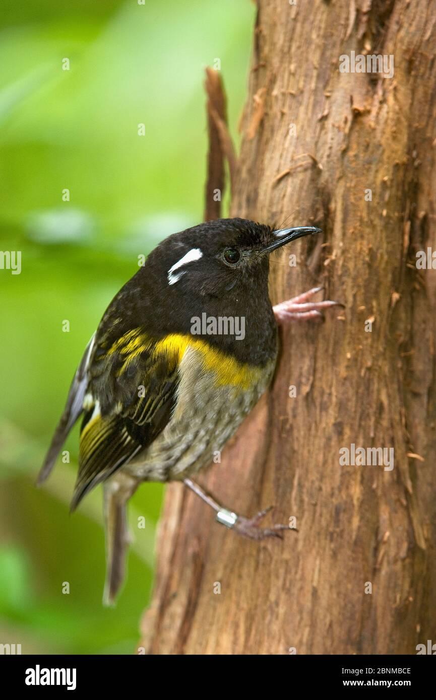 Portrait de Stitchbird (Notiomystis cincta), Tiritiri Matangi, Île du Nord, Nouvelle-Zélande, espèces menacées Banque D'Images