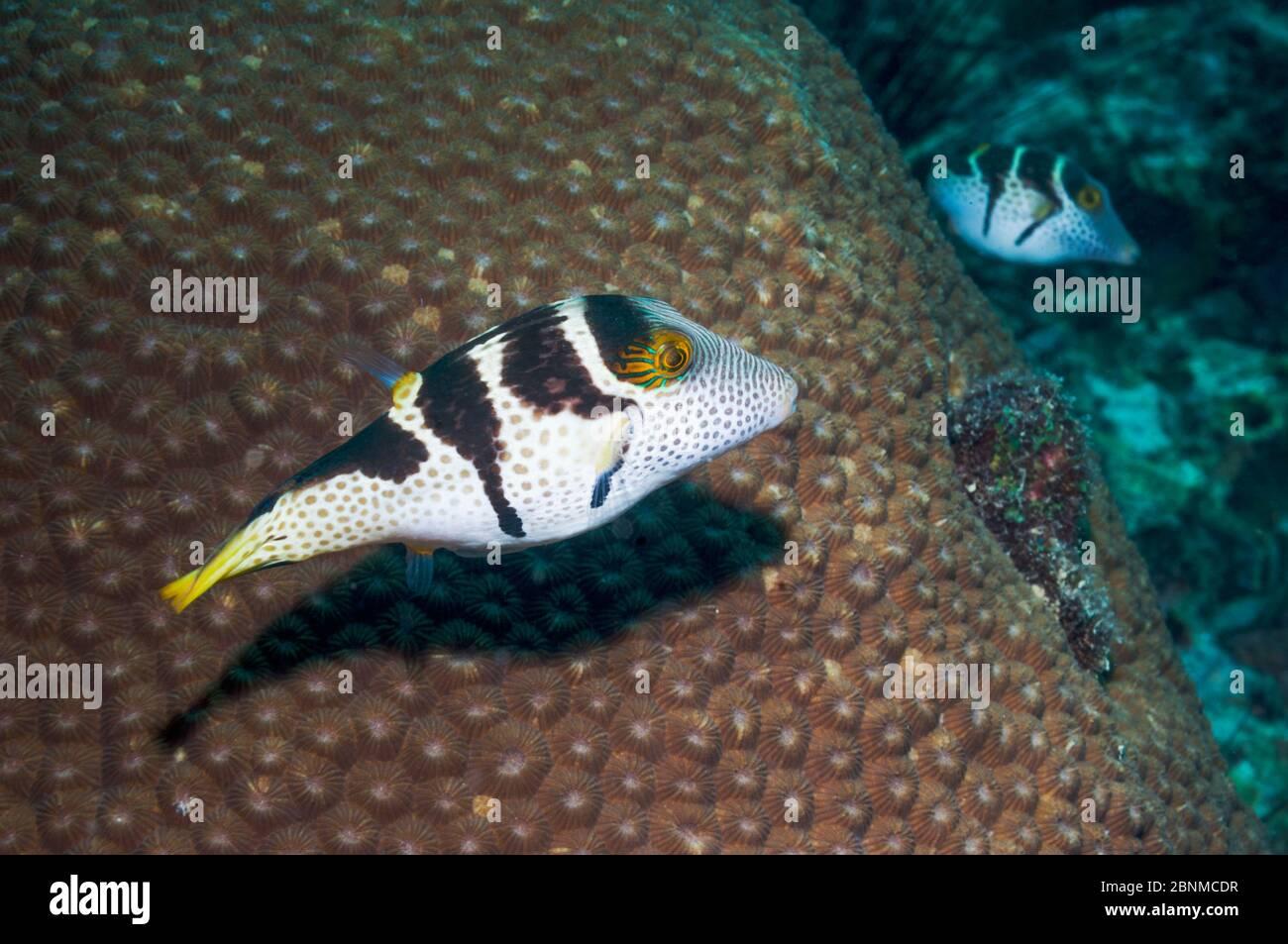 Le puffeur à nez pointu de Valentini (Canthigaster vanlentini) Cebu, île de Malapascua, Philippines, septembre Banque D'Images