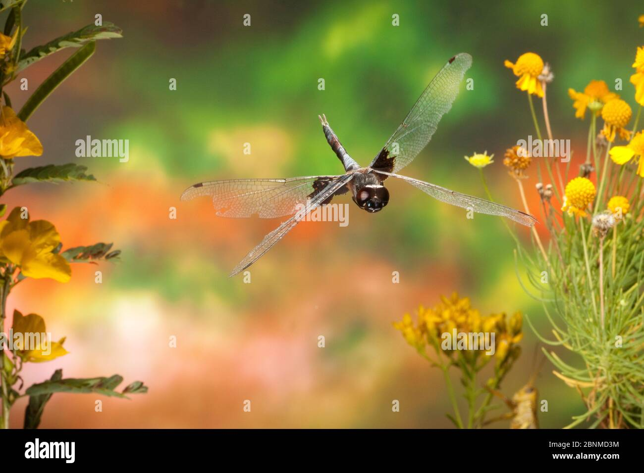 Black Saddleboches (Tramea lacerata) mâle en vol Lamar County, Texas, États-Unis conditions contrôlées. Août Banque D'Images