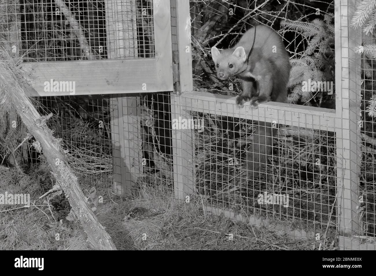 Marte de pin mâle à col radio (Martes martes) émergeant d'une cage temporaire à libération molle après la tombée de la nuit lors d'un projet de réintroduction par le Vincent Banque D'Images
