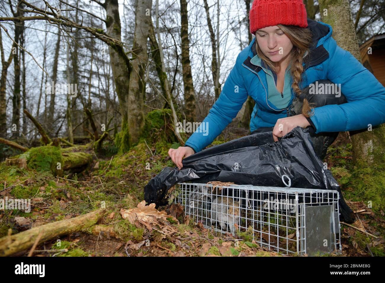 Catherine McNicol inspectant un écureuil gris (Sciurus carolinensis) elle a pris dans un piège de capture en direct tout en surveillant l'écureuil dans la population Banque D'Images