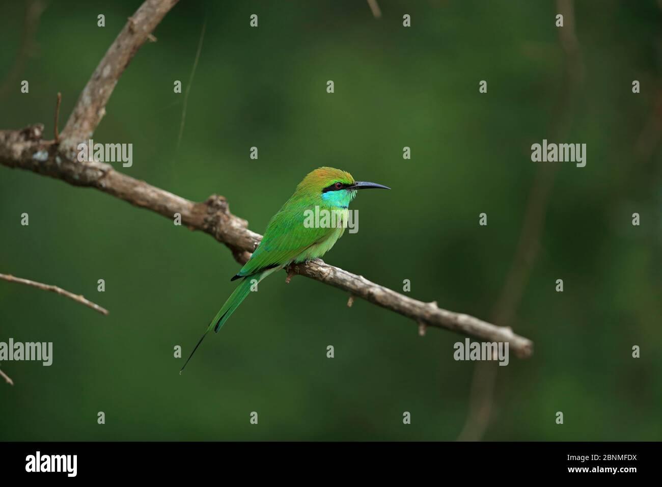 L'abeille verte (Merops orientalis) perchée au Sri Lanka. Banque D'Images
