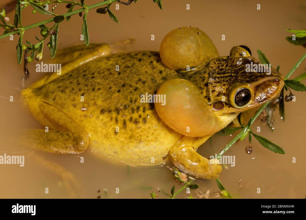 La grenouille à tête de CASUE (Trachycephalus jordani) appelle dans la flaque de pluie, province Loja, Réserve biologique de Jorupe, Équateur Banque D'Images