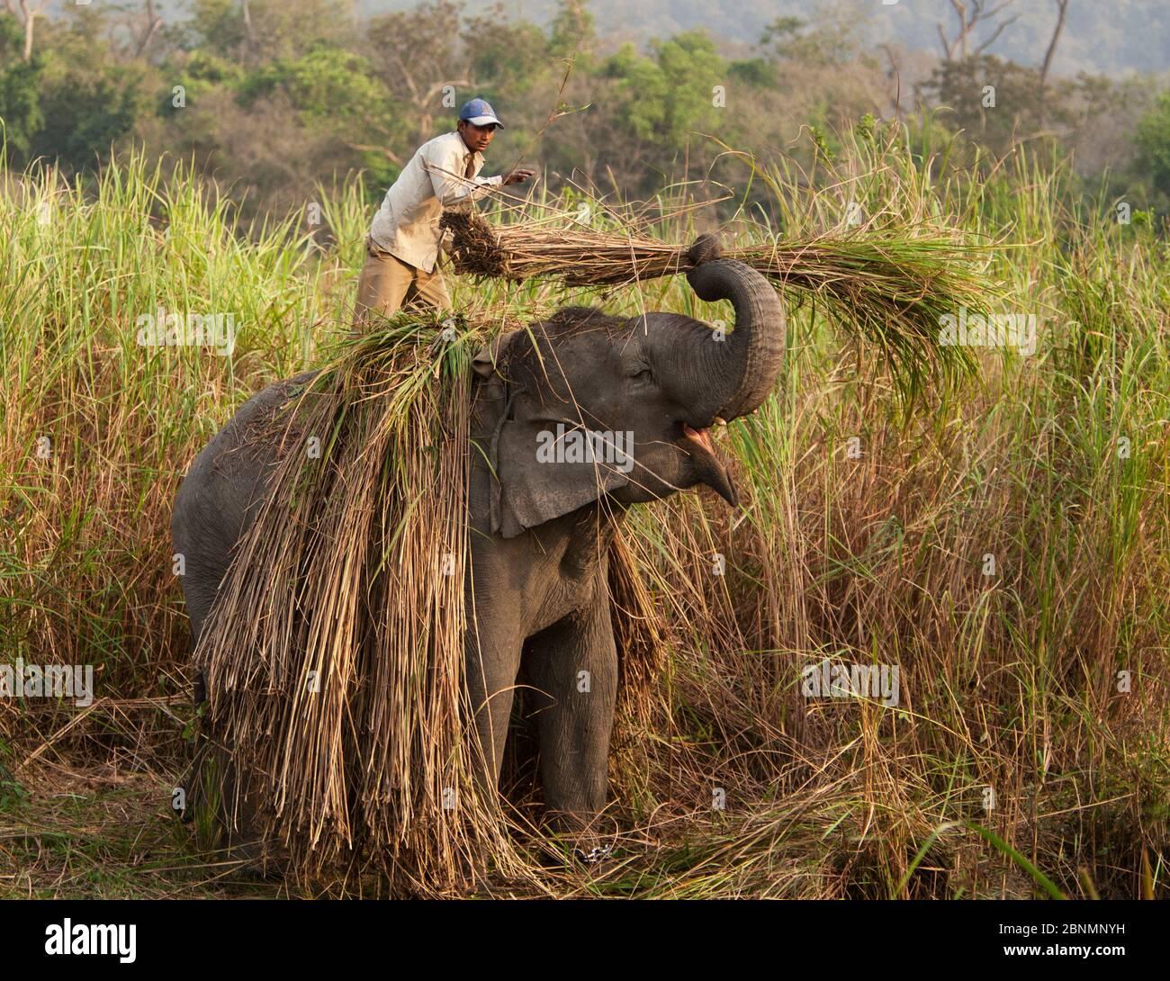Éléphant d'Asie domestiqué (Elephas maxima) qui travaille avec l'homme pour récolter des roseaux, Parc national Kaziranga Assam Inde Mar 2009 Banque D'Images