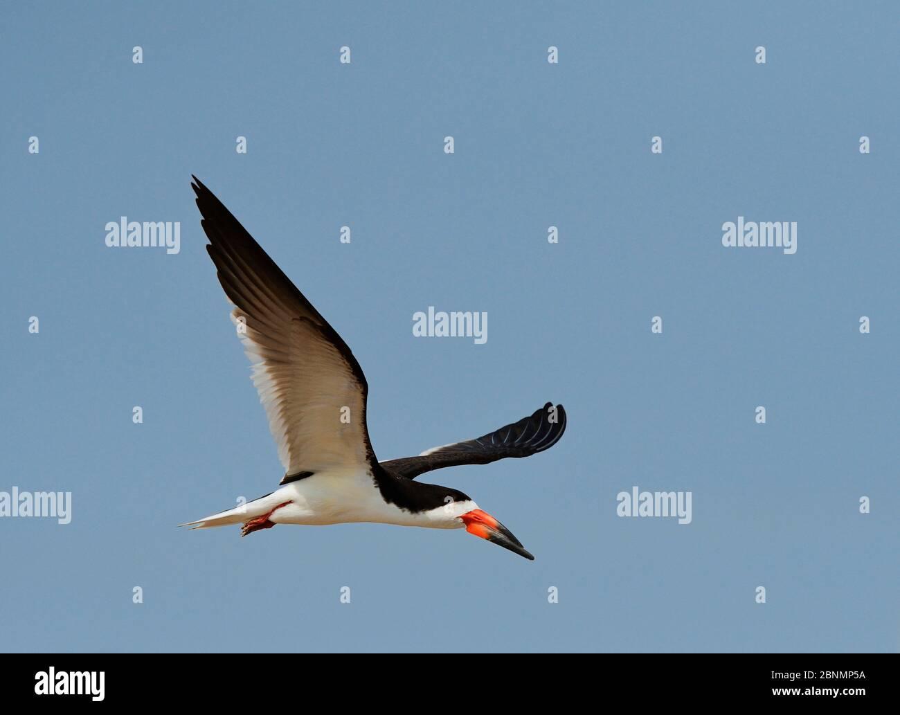 Skimmer noir (Rynchops niger), adulte en vol, Port Isabel, Laguna Madre, South Padre Island, Texas, États-Unis. Juin Banque D'Images