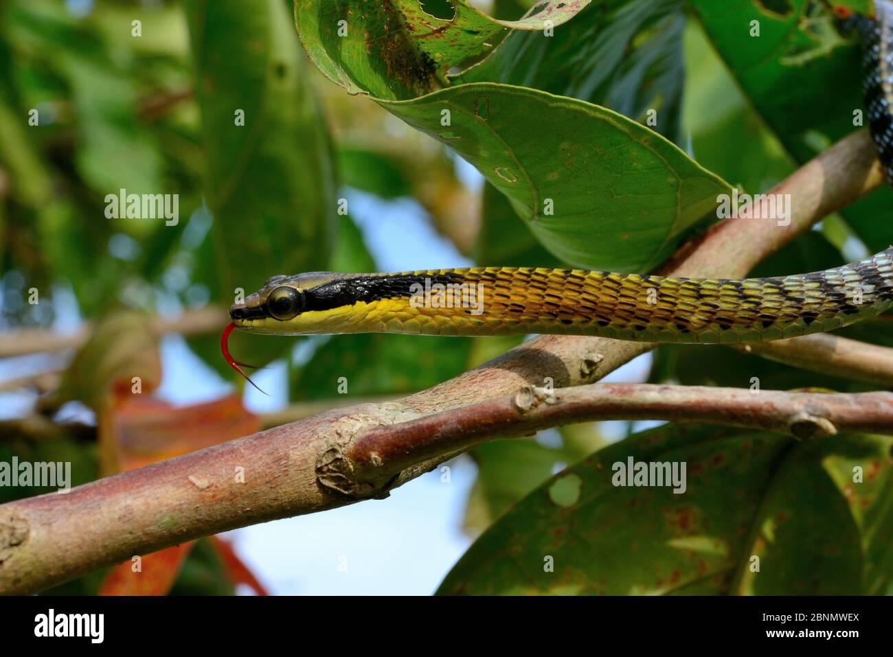 Serpent à breuque peint (Dendrelaphis pictus) Sumatra Banque D'Images