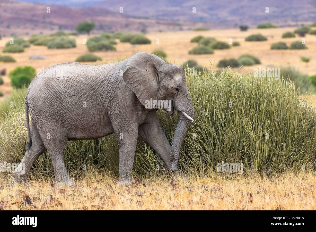 Éléphant d'Afrique vivant dans le désert (Loxodonta africana) se nourrissant de hautes herbes, Damaraland, Namibie Banque D'Images