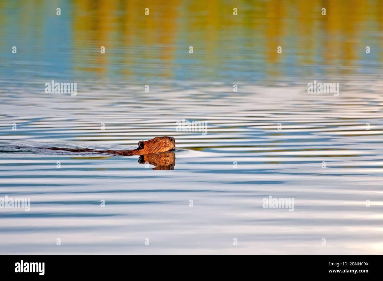 Beaver Swmit son lac d'origine, Alaska Banque D'Images