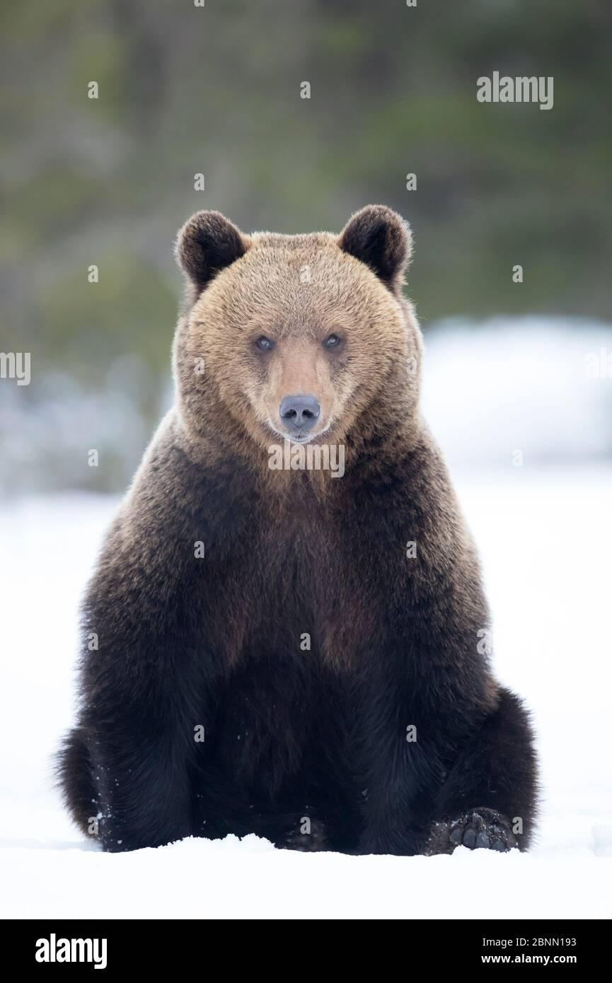 Ours brun européen (Ursus arctos) assis dans la neige, Finlande, avril Banque D'Images