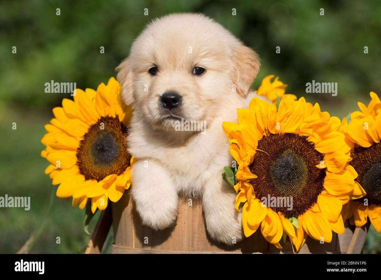 Chiot Golden Retriever dans le panier en bois avec des tournesols; USA Banque D'Images