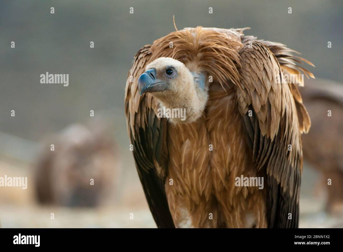 Griffon vautour (Gyps fulvus), Pyrénées, Espagne. Banque D'Images