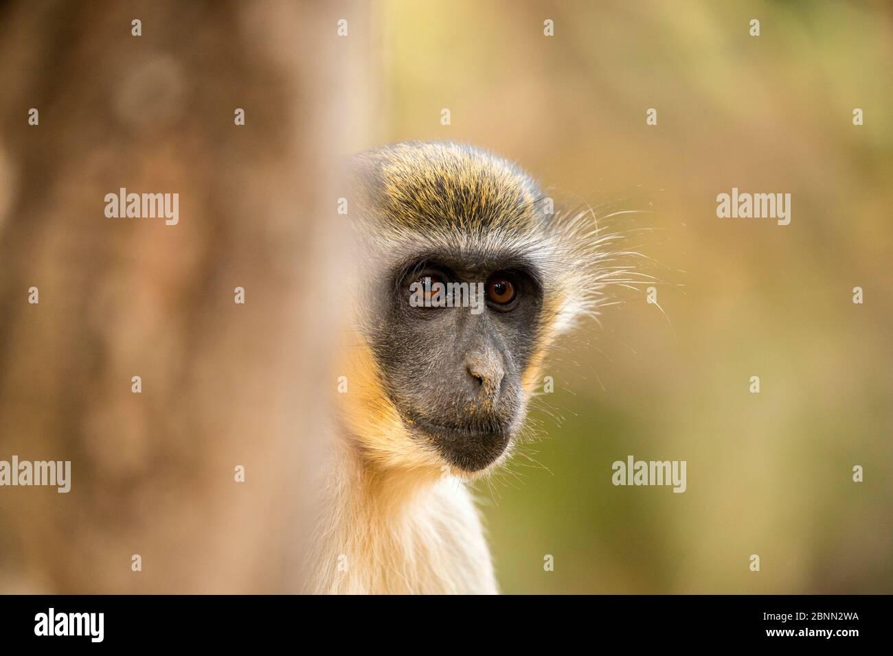 Portrait de gros plan du singe vert (Chlorocebus sabaeus), Parc forestier de Bijilo, Kololi, Serrekunda, Gambie, Afrique, mai. Banque D'Images