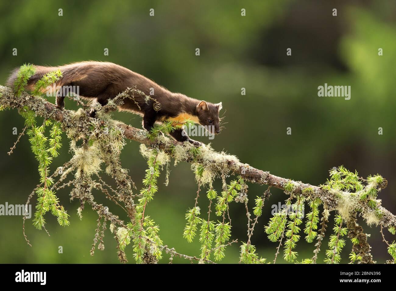 Pine Marten (Martes martes) rétroéclairé sur la branche du mélèze, Perthshire, Écosse, Royaume-Uni, mai. Banque D'Images