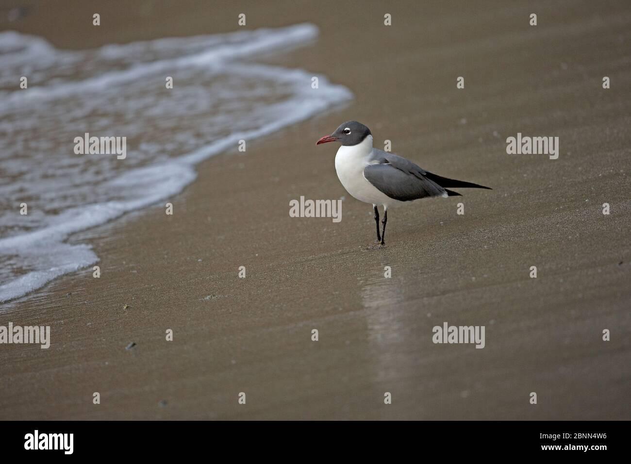 Rire (Larus atricilla) sur la plage, Trinité-et-Tobago, avril Banque D'Images